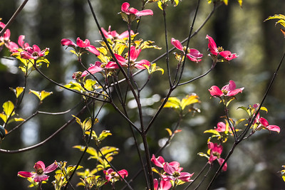 170413_27_6321_Blossoms-2