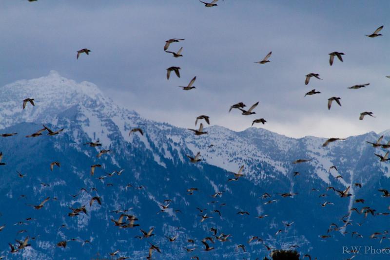 Mallards taking off from Mission Creek