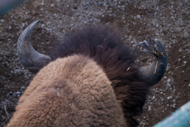 This bison bull tried to take on the jeep head on.