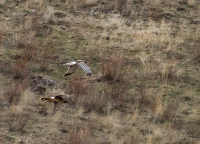 Northern Harrier Pair. Gray male brown female (ground nesting coloration)