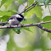 A Carolina Chickadee with it's sunflower seed