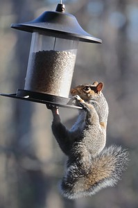 I would much rather have them raiding our bird feeders!