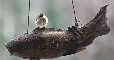 """A bird with attitude.  I think he had every intention of flying off with his """"Catch of the Day."""""""