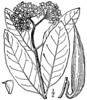Description<br /> English: Asclepias variegata L. (redring milkweed)<br /> Date1913<br /> SourceUSDA-NRCS PLANTS database: Asclepias variegata L.(redring milkweed)<br /> AuthorBritton, N.L., and A. Brown. 1913. An illustrated flora of the northern United States, Canada and the British Possessions. 3 vols. Charles Scribner's Sons, New York. Vol. 3: 29. Courtesy of Kentucky Native Plant Society. Scanned by Omnitek Inc.<br /> Permission<br /> (Reusing this file)<br /> This image is not copyrighted and may be freely used for any purpose. Please credit the artist, original publication if applicable, and the USDA-NRCS PLANTS Database. The following format is suggested and will be appreciated:<br /> USDA-NRCS PLANTS Database / Britton, N.L., and A. Brown. 1913. An illustrated flora of the northern United States, Canada and the British Possessions. 3 vols. Charles Scribner's Sons, New York. Vol. 3: 29.<br /> Licensing[edit]<br /> <br /> Public domain<br /> This media file is in the public domain in the United States. This applies to U.S. works where the copyright has expired, often because its first publication occurred prior to January 1, 1923. See this page for further explanation.<br /> United States<br /> Dialog-warning.svg<br /> This image might not be in the public domain outside of the United States; this especially applies in the countries and areas that do not apply the rule of the shorter term for US works, such as Canada, Mainland China (not Hong Kong or Macao), Germany, Mexico, and Switzerland. The creator and year of publication are essential information and must be provided. See Wikipedia:Public domain and Wikipedia:Copyrights for more details.<br /> File history<br /> <br /> Click on a date/time to view the file as it appeared at that time.<br /> Date/TimeThumbnailDimensionsUserComment<br /> current13:30, 17 June 2012Thumbnail for version as of 13:30, 17 June 20121,736 × 2,000 (523 KB)Nonenmac (talk | contribs)<br /> You cannot overwrite this file.<br /> File