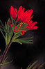 Description English: Image title: Indian paintbrush red flower Image from Public domain images website, http://www.public-domain-image.com/full-image/flora-plants-public-domain-images-pictures/flowers-public-domain-images-pictures/indian-paintbrush-red-flower.jpg.html DateNot given Transferred by Fæ on 2013-03-01 Sourcehttp://www.public-domain-image.com/public-domain-images-pictures-free-stock-photos/flora-plants-public-domain-images-pictures/flowers-public-domain-images-pictures/indian-paintbrush-red-flower.jpg AuthorDr. Thomas G. Barnes, U.S. Fish and Wildlife Service Permission (Reusing this file) This file is in public domain, not copyrighted, no rights reserved, free for any use. You can use this picture for any use including commercial purposes without the prior written permission and without fee or obligation.  Licensing:[edit]  Public domainThis work has been released into the public domain by its author, Dr. Thomas G. Barnes, U.S. Fish and Wildlife Service. This applies worldwide. In some countries this may not be legally possible; if so: Dr. Thomas G. Barnes, U.S. Fish and Wildlife Service grants anyone the right to use this work for any purpose, without any conditions, unless such conditions are required by law. File history  Click on a date/time to view the file as it appeared at that time. Date/TimeThumbnailDimensionsUserComment current03:26, 1 March 2013Thumbnail for version as of 03:26, 1 March 20131,942 × 2,967 (455 KB)Fæ (talk | contribs){{information | description = {{en|1=<br/> :Image title: Indian paintbrush red flower :Image from Public domain images website, http://www.public-domain-image.com/full-image/flora-plants-public-domain-images-pictures/flowers-public-domain-images-pictur... You cannot overwrite this file. File usage on Commons  There are no pages that link to this file.