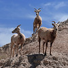Mountian Goats at the Badlands<br /> Photo # 18