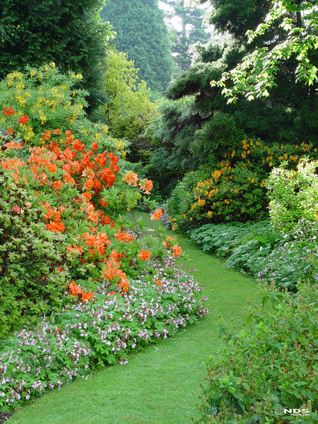 Garden path throuigh flowering shrubs