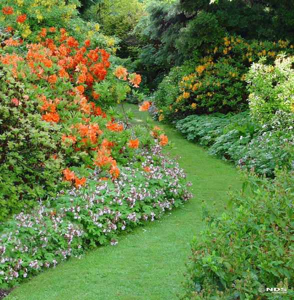 Garden path throuigh flowering shrubs