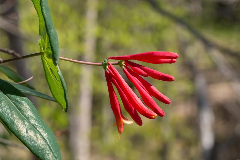 Lonicera sempervirens, trumpet honeysuckle