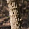 Vitis rotundifolia, muscadine grape