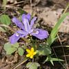 Iris cristata, Dwarf Crested Iris (blue) with Ranunculus sp., wild buttercup (yellow) -Peter Schubert