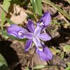 Iris cristata, Dwarf Crested Iris, with nectaring beetle -Peter Schubert