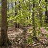 Fagus grandifolia, American beech