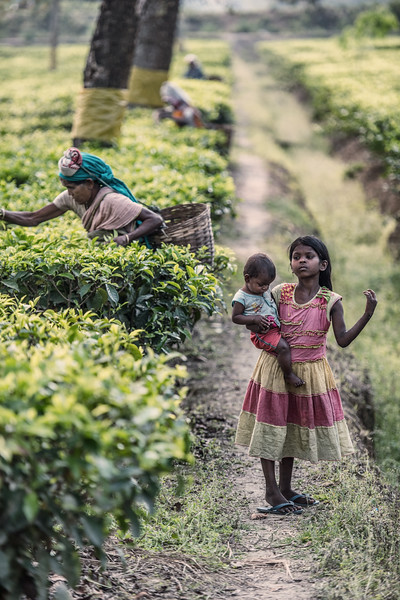 Tea picking, Assam