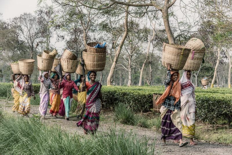 Balipara tea pickers