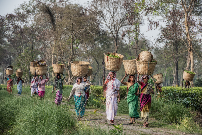 Pickers of Assam