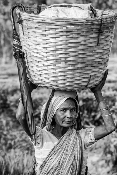 Tea picker with basket, Balipara, Assam
