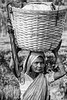 Tea picker with basket, Balipara, Assam