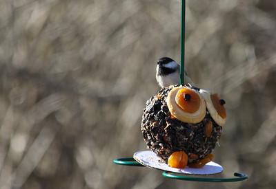 Black-capped chickadee enjoying a whimsical treat.
