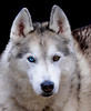 20160130_133449 - 0175 - Winter Days - Sled Dog Meet and Greet_LowRes