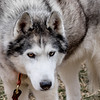 20160130_133317 - 0168 - Winter Days - Sled Dog Meet and Greet_LowRes