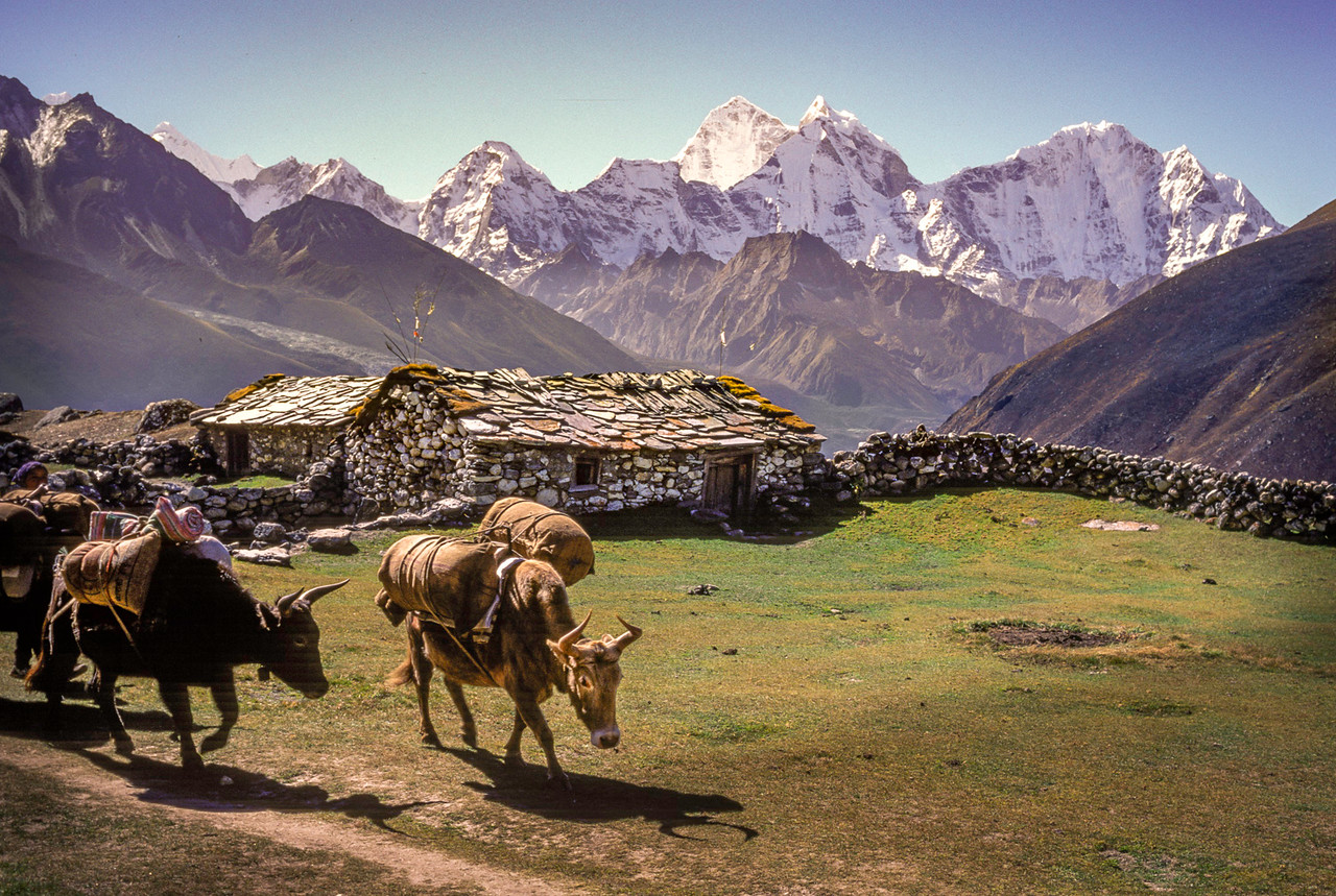 Zos in the Khumbu