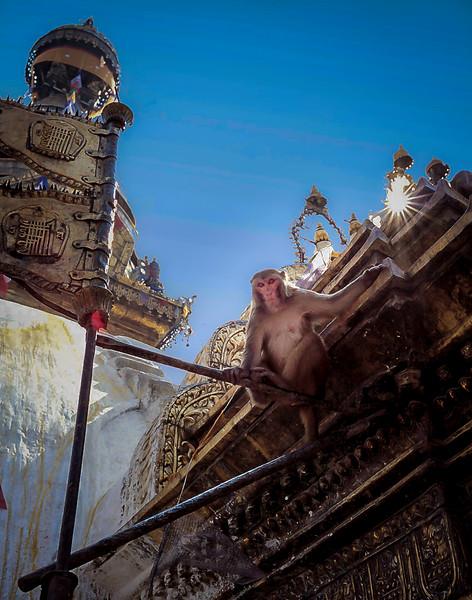 Temple monkey, Kathmandu