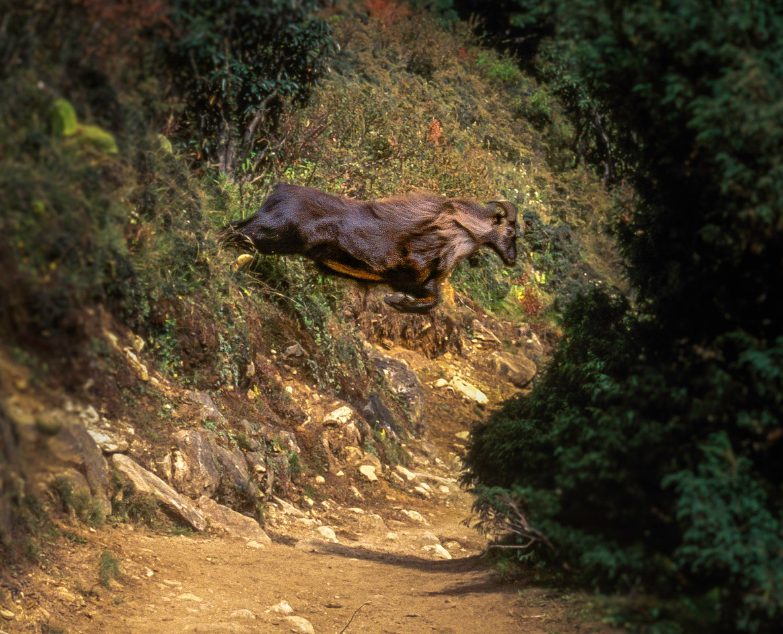 Himalayan tahr jumping the trail, Khumbu