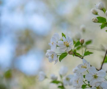 Apple Blossom 5