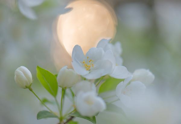Apple Blossom 38