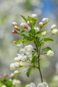 Apple Blossom 15