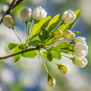 Apple Blossom 19
