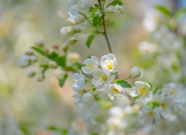 Apple Blossom 7