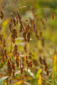 AUTUMN GRASS   12