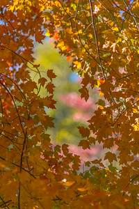 AUTUMN MAPLE  13