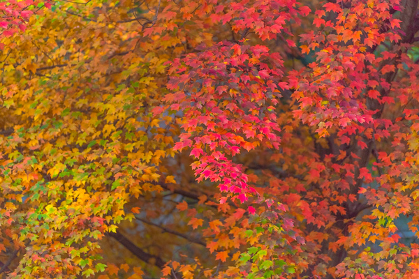 AUTUMN MAPLE  11