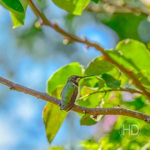 HUMMINGBIRD  15