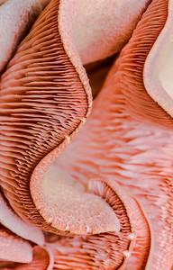 Pink Oyster Shroom  3