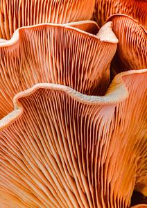 Pink Oyster Shroom  6