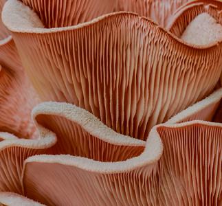 Pink Oyster Shroom  4