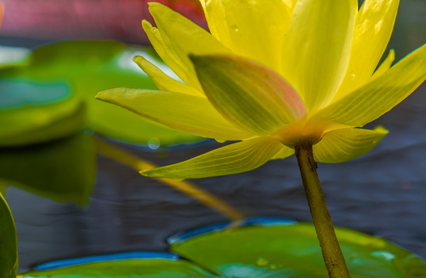SUMMER LILY   11