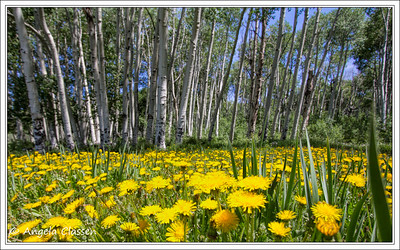 Dandelions, Divide Road, Uncompaghre Plateau, Colorado
