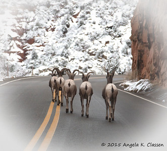 Sauntering bighorn sheep, Colorado National Monument, Grand Junction, Colorado