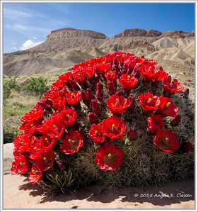 A gorgeous claret cup cactus in bloom near Mt. Garfield, Grand Junction, Colorado