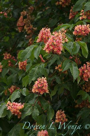 Aesculus x carnea tree_4347
