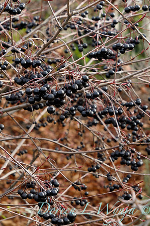 Aronia melanocarpa 'Viking' with winter berries_0884