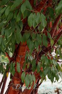 Prunus serrulata_2582