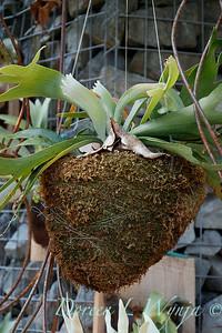 Platycerium bifurcatum 'Netherlands hanging basket_2929