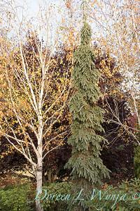 Picea glauca 'Pendula' - Betula utilis var  jacquemontii_1951