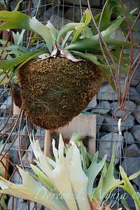 Platycerium bifurcatum 'Netherlands hanging basket_2931